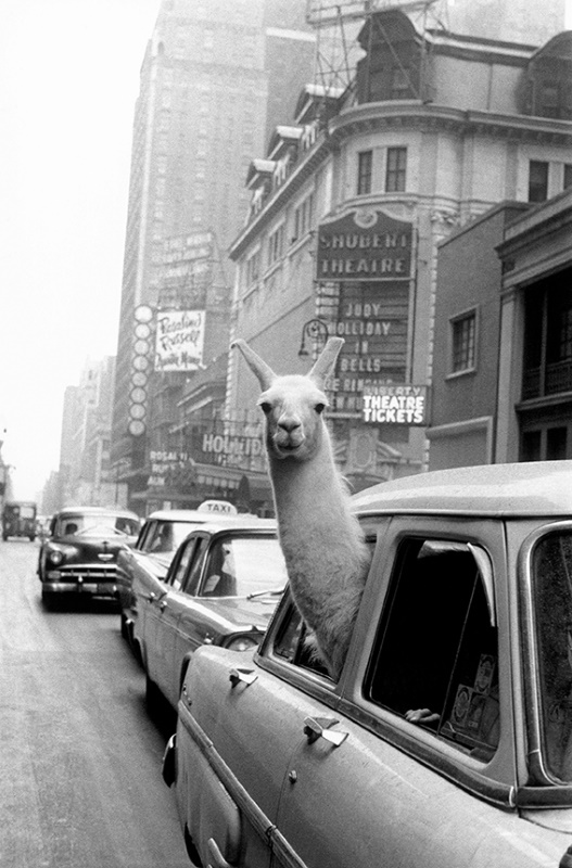 Un lama a Times Square, New York 1957 © Fotohof archiv Inge Morath Foundation Magnum Photos